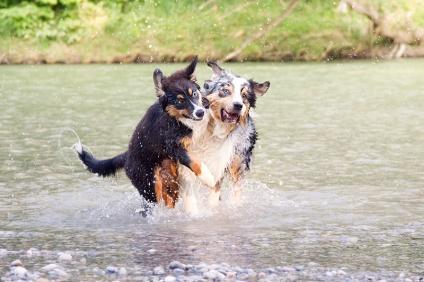 Aussie Fotoshooting Hunde München