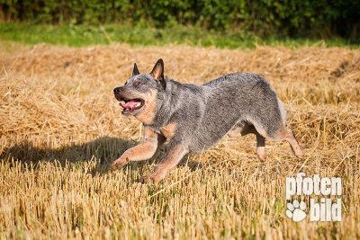 Cattle Dog auf Feld Fotoshooting