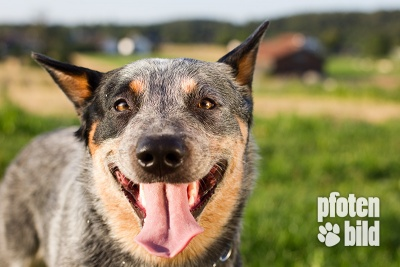 Cattle Dog Tierfotografie