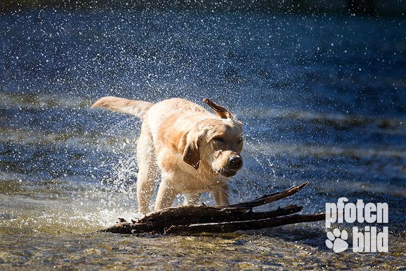 Isar Hund im Wasser