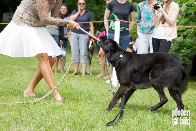 Hundeolympiade Tauziehen