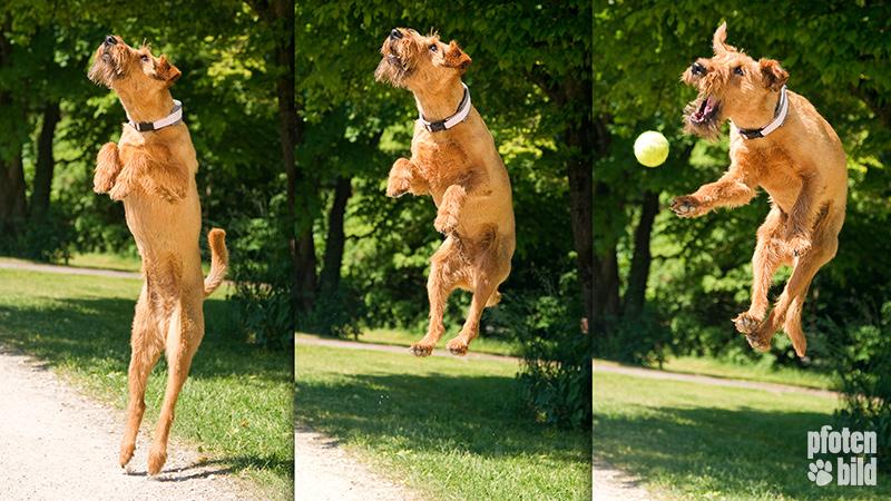 Terrier im Sprung