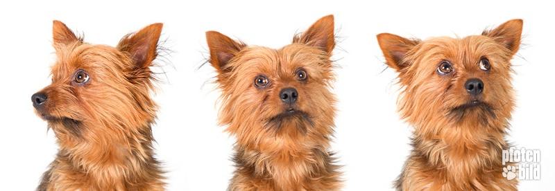 Triptychon Yorkshire Terrier