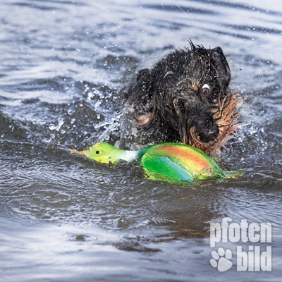 Dackel im Wasser