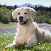Golden Retriever in Berglandschaft