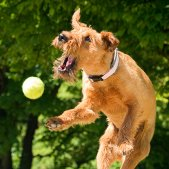 Irish Terrier im Sprung