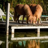 Mini-Shetlandponies am See
