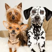 dalmatiner_chiwawa_yorkshire_terrier